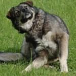 Rebaste kärntõbi ohustab ka koeri