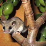 Aafrika unilane – tilluke oravasabaga näriline