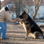 Saksa lambakoer garanteerib peremehele 9500 treeningtundi