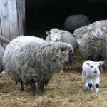 Illuka hundid murdsid seekord lambaid