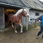 Eesti raskeveohobune otsib tööd