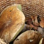 Sinasõber 150 liiki seentega