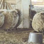Tudulinna vallavanem jättis oma lambad hooletusse
