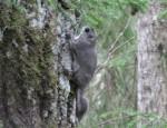Eestis elab lendorav praegu veel vaid Virumaa vanades metsades.