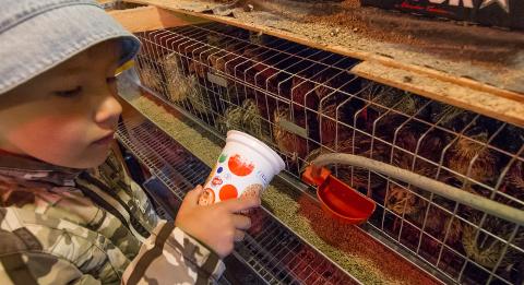 6aastane Albert aitab hoolitseda vuttide eest ja sööb isukalt ka vutimune.
