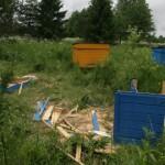 Kesine toidulaud ajab karud mesilate kallale