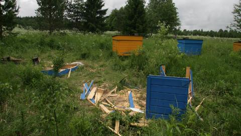 Tarumaa külas lõhkus karu mõne mesitaru lausa pilbasteks.
