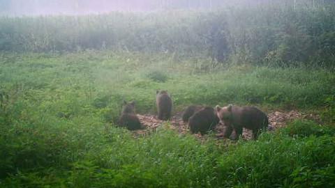 Karude asurkonna jätkuvast kasvust annavad märku kolme, nelja ja isegi viie pojaga pesakonnad. Viis poega on küll haruldus, ent tänavu Ida-Virumaal täiesti olemas.