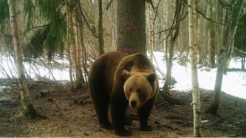 Rajakaamerate pildid kinnitavad, et karusid on Ida-Virumaal tõesti palju.